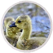 Young Canadain Goose Round Beach Towel