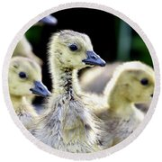 Young Canadian Goose Goslings Round Beach Towel