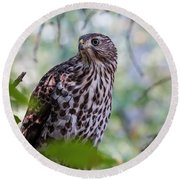 Young Cooper's Hawk Round Beach Towel