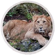 Young Lion  Round Beach Towel