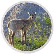 Young Rocky Mountain Bighorn Sheep Round Beach Towel