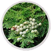 Young Seed Cones Of Lawson Cypress Round Beach Towel