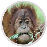 A Close Portrait Of A Young Orangutan Eating Leaves Round Beach Towel