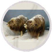 A Pair Of Musk Oxen, International Wildlife Museum, Tucson, Ariz Round Beach Towel