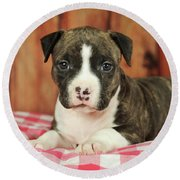 American Staffordshire Terrier Puppy 5 Weeks Brindle With White Lying On  Plaid Blanket Austria by imageBROKER - Anni Sommer