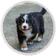 Bernese Mountain Dog Puppy 2 Round Beach Towel