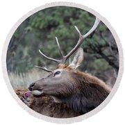 Bull Elk Grooms Himself Round Beach Towel