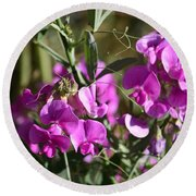 Bunch Of Pink Sweet Peas In The Sun Round Beach Towel
