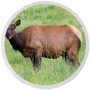 Cow Elk Grazing Round Beach Towel