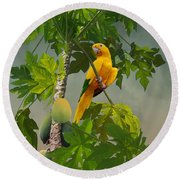Golden Parakeet In Papaya Tree Round Beach Towel