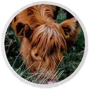 Highland Cow Eating Close Up Round Beach Towel by Scott Lyons