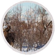 In Ninilchik A Moose Grazes In The Village In Late Winter Round Beach Towel
