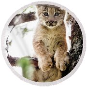 Lynx Kitten In Tree Round Beach Towel by Tim Newton