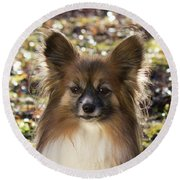 Papillon Sitting In Leaves Round Beach Towel