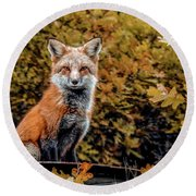 Red Fox In Fall Colors Round Beach Towel