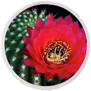 Red Hot Torch Cactus  Round Beach Towel