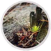 Small Spruce Growing On An Old Tree Stump Round Beach Towel