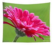 Gerbera Daisy Named Raspberry Picobello Tapestry