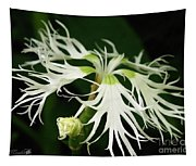 Dianthus Superbus - White Tapestry