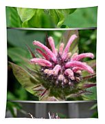 From Bud To Bloom - Bee Balm Named Panorama Pink Tapestry