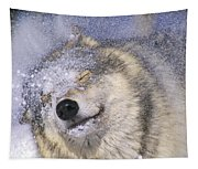 Gray Wolf Canis Lupus Shaking Snow Off Tapestry