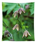 Mission Bells  Fritillaria  Grow Tapestry