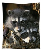 Raccoon Young Procyon Lotor In Tree Tapestry