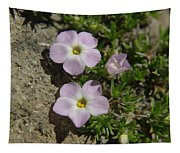 Tufted Phlox Tapestry
