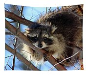 Young Raccoon In Birch Tree Tapestry