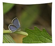 Male Eastern Tailed Blue Butterfly 3063 Tapestry