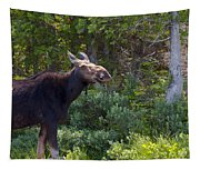 Moose Baxter State Park Maine 3 Tapestry