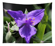 Tradescantia Named Andersonia Mauve Tapestry