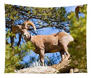 Bighorn Sheep In The San Isabel National Forest Tapestry