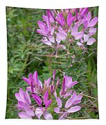 Cleome Sparkler Lavender Tapestry