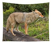 Coyote On A Log Closeup Tapestry