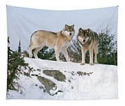 Gray Wolves Canis Lupus In A Forest Tapestry