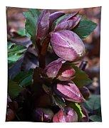 Heliborus Early Flower Buds 1 Tapestry