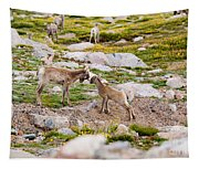 Practicing Baby Bighorn Sheep On Mount Evans Colorado Tapestry