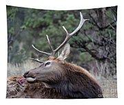 Bull Elk Grooms Himself Tapestry