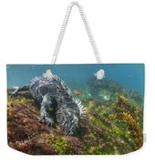 Marine Iguana Feeding On Algae Punta Weekender Tote Bag