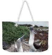 Blue-footed Booby Pair Courting Weekender Tote Bag