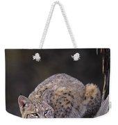 Crouching Bobcat Montana Wildlife Weekender Tote Bag by Dave Welling