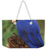 Hyacinth Macaw Eating Piassava Palm Nuts Weekender Tote Bag