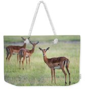 Impalas Aepyceros Melampus Petersi Weekender Tote Bag