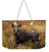 Young Bull Moose Being Aggressive Weekender Tote Bag