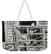 Young Cows In Pen Near Barn Maine Photograph Weekender Tote Bag
