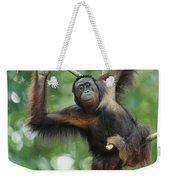 Orangutan Pongo Pygmaeus Adult Sitting Weekender Tote Bag