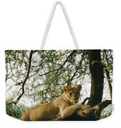 A Lion Panthera Leo Relaxes On A Tree Weekender Tote Bag