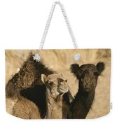 A Pair Of Dromedary Camels Pose Proudly Weekender Tote Bag