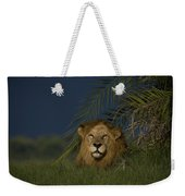 African Lion Resting Near A Palm Weekender Tote Bag